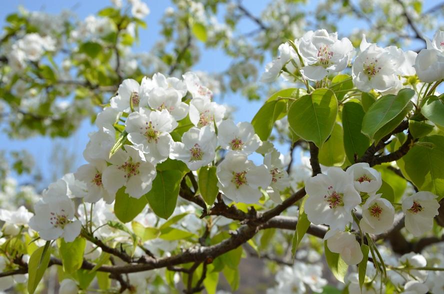 春季踏青一日游-青龙官场梨花节